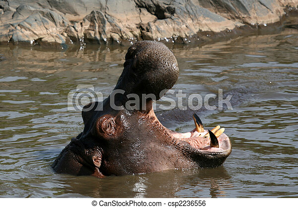 Hippo Mouth Wide Open in Africa - csp2236556