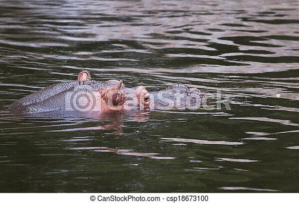 Hippo or Hippopotamus amphibius in water - csp18673100