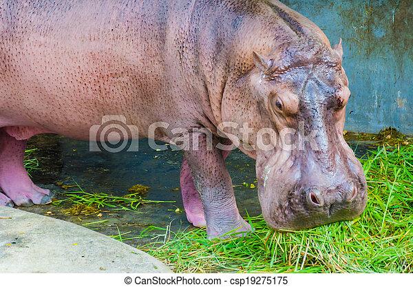 Hippo - csp19275175