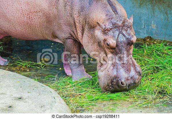 Hippo - csp19288411