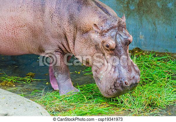 Hippo - csp19341973