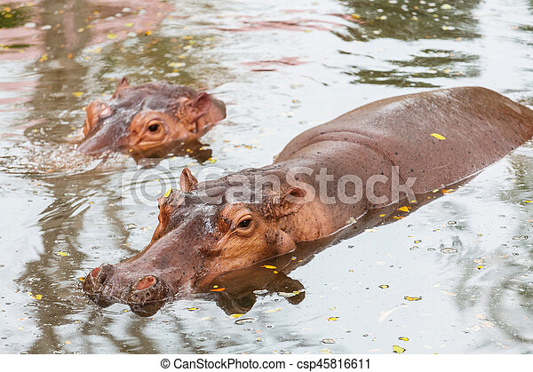 Hippo - csp45816611