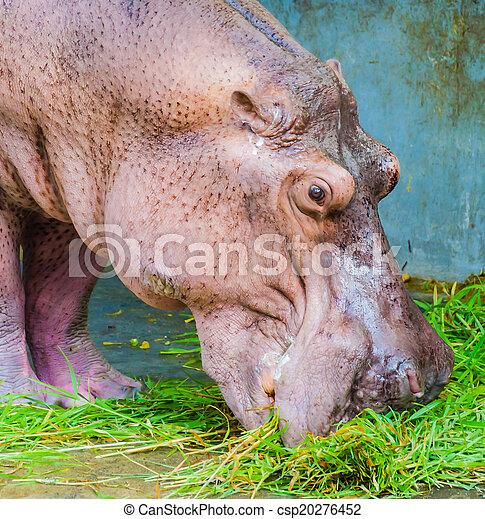 Hippo - csp20276452