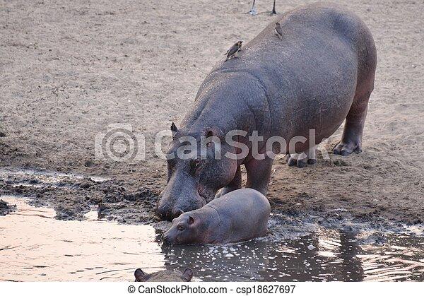 hippo - csp18627697