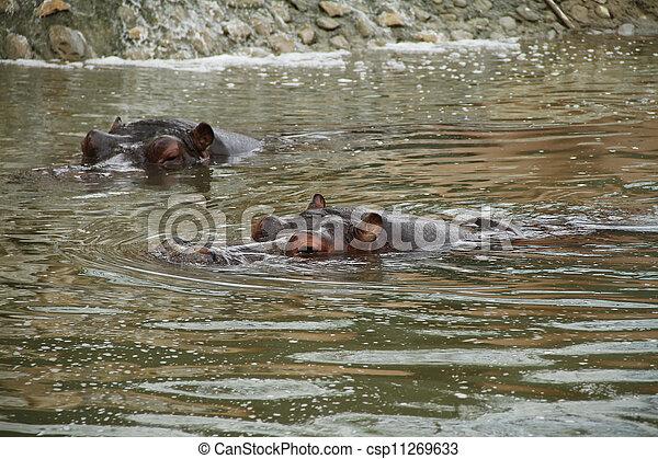 hippo  - csp11269633