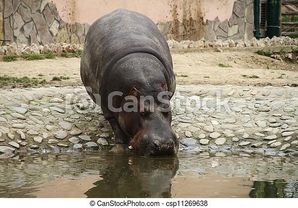 hippo  - csp11269638