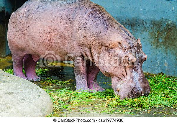 Hippo - csp19774930