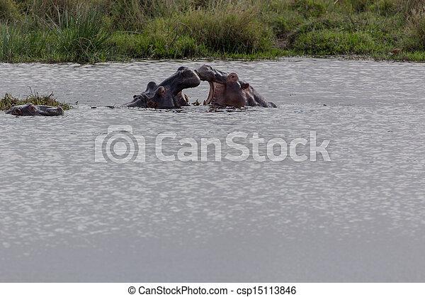Hippopotamus - Hippopotamus amphibi - csp15113846