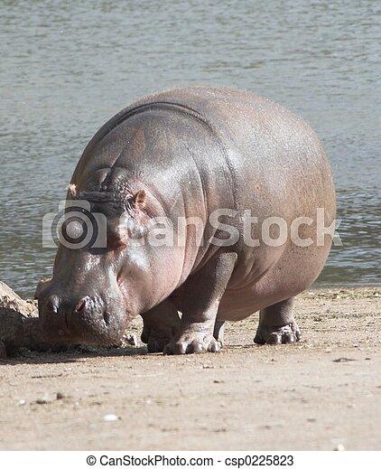 hippopotamus - csp0225823