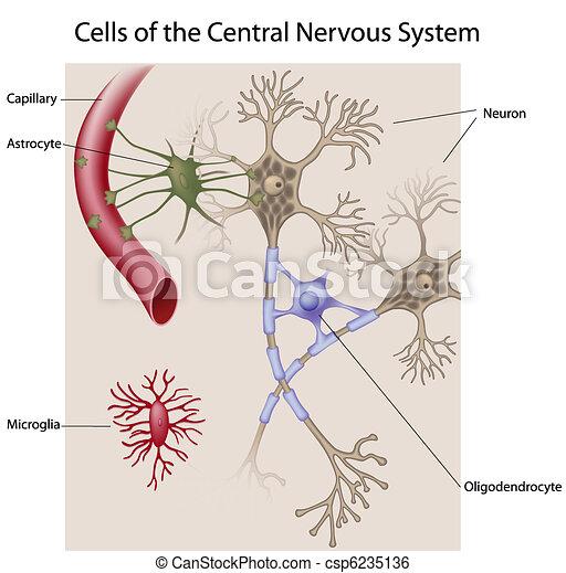 hjärna, celler - csp6235136