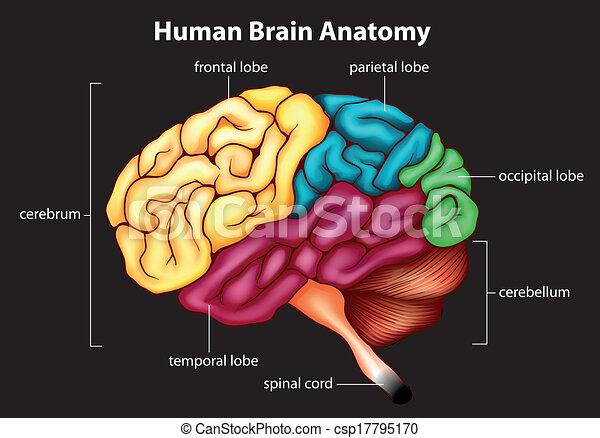 hjärna, mänsklig - csp17795170