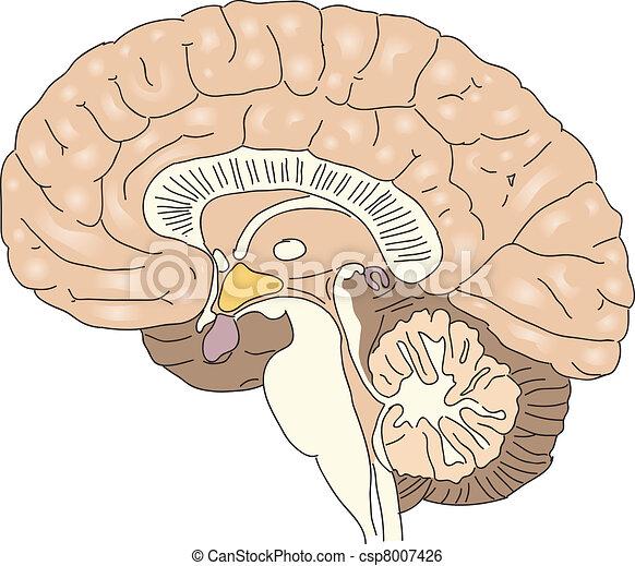 hjärna, mänsklig - csp8007426
