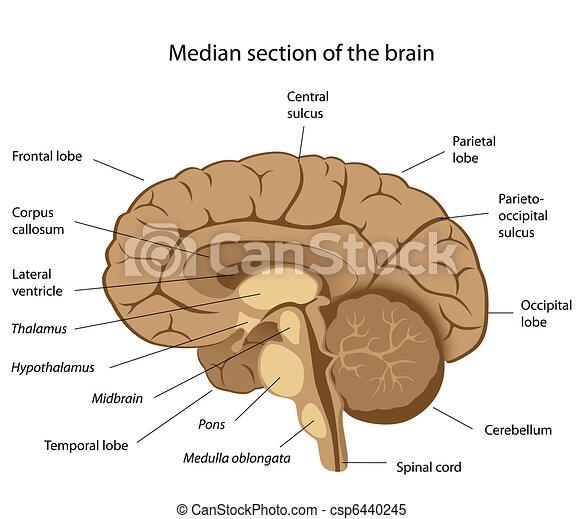 hjärna, mänsklig, eps8, anatomi - csp6440245
