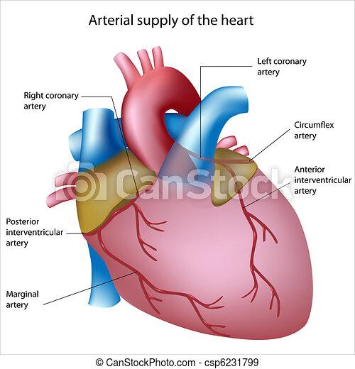 hjärta, blod, tillförsel - csp6231799