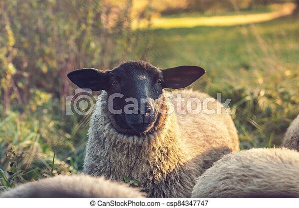 hlavička, prašivá ovce, suffolk, -, up, názor, krmivo, uzavřít - csp84347747