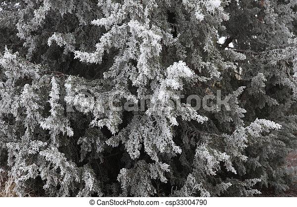 Hoar Frost Evergreen - csp33004790