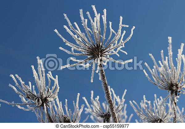 hoarfrost White flowers against the blue sky - csp55159977