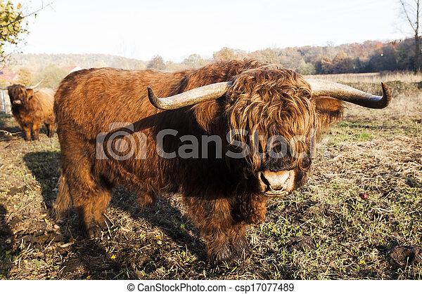 Highland Kuh - csp17077489