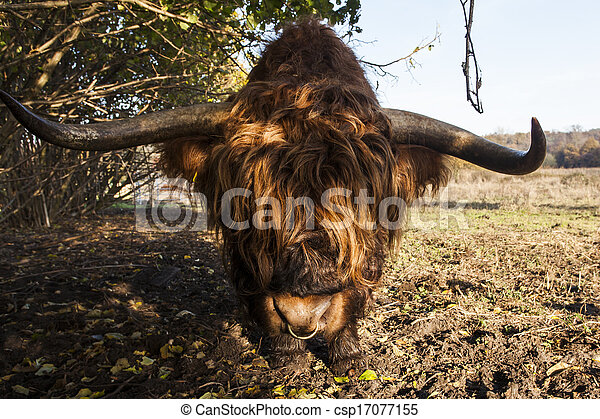 Highland Kuh - csp17077155