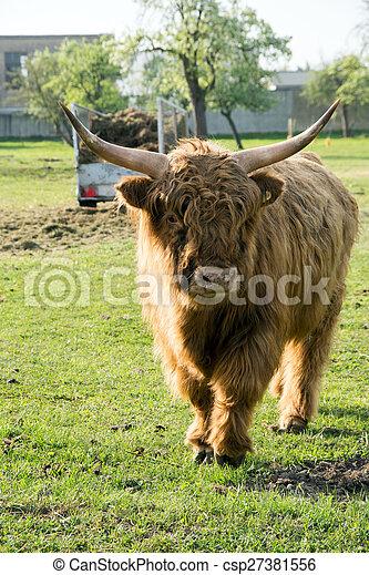 Highland Kuh - csp27381556
