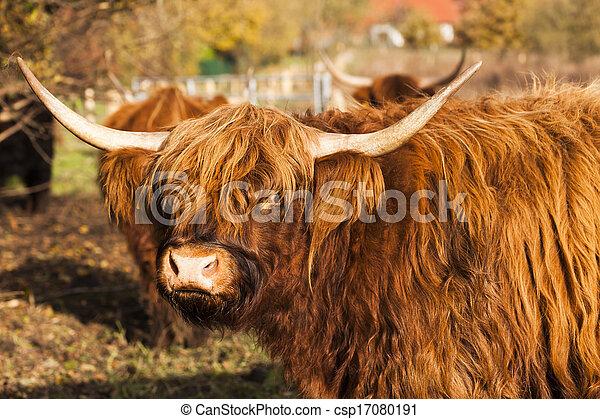 Highland Kuh - csp17080191