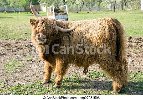 Highland Kuh - csp27381596