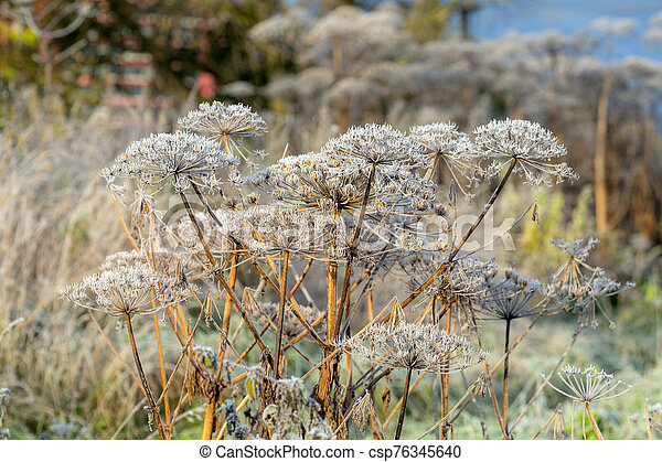 Hogweed in hoarfrost - csp76345640