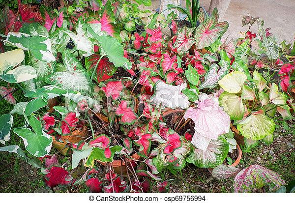 Hojas coloridas de caladio bicolor en el jardín - csp69756994