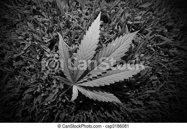 hoja, marijuana - csp3186081