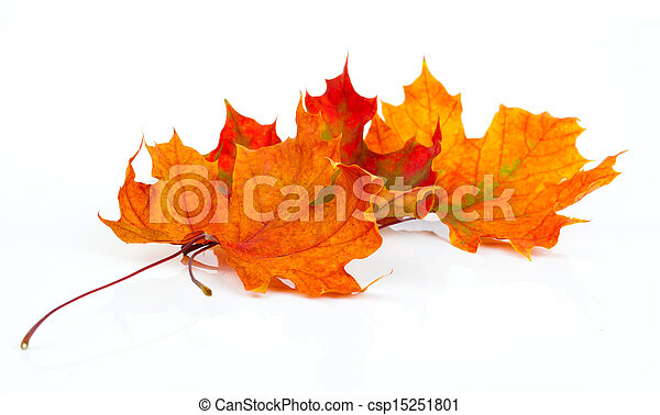hojas, aislado, otoño, plano de fondo, blanco, arce - csp15251801