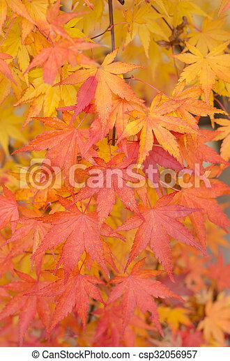 Maple japonés deja atrás - csp32056957