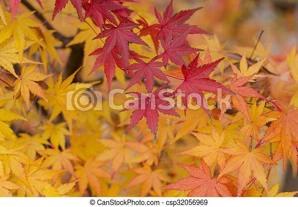 Maple japonés deja atrás - csp32056969