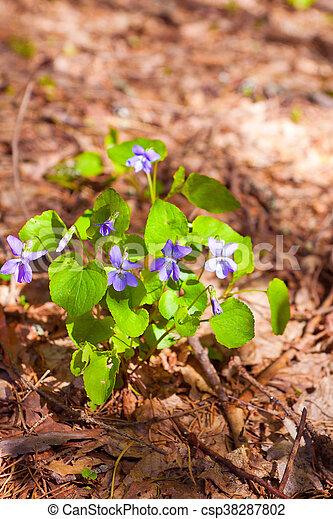 Violetas en el bosque entre las hojas caídas - csp38287802
