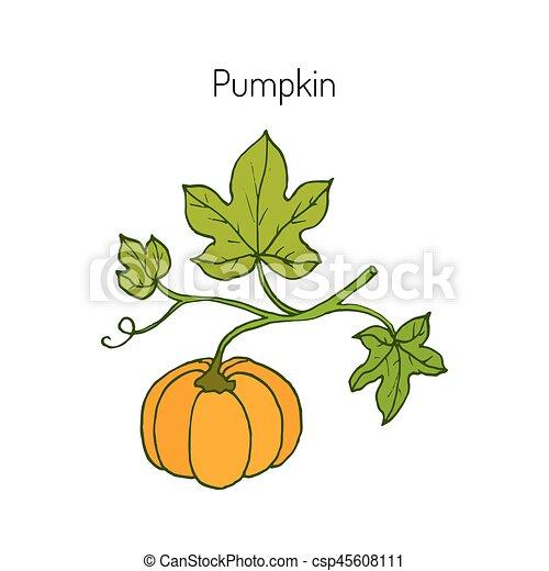 Hojas, calabaza. Jardín, ilustración, hojas, vector, plant., calabaza.