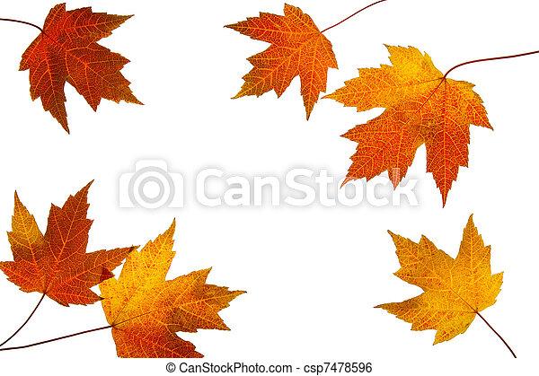 hojas, dispersado, plano de fondo, otoño, blanco, arce - csp7478596