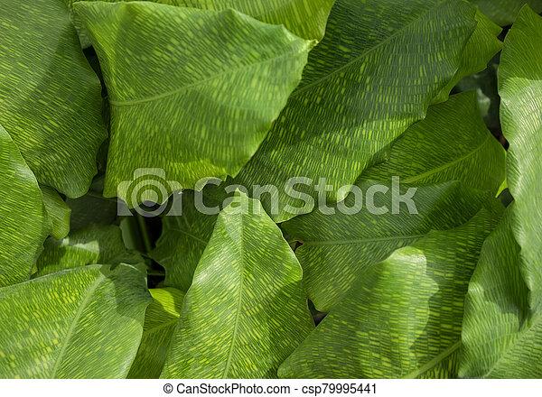 hojas, maranta - csp79995441