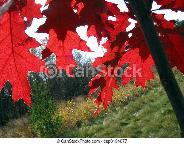 hojas, roble, rojo - csp0134077