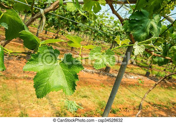 Hojas de uva - csp34528632