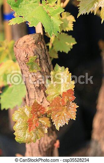 Hojas de uva - csp35528234
