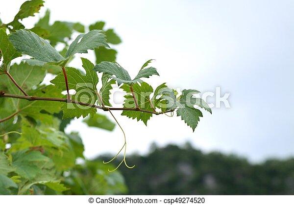 Hojas de uva - csp49274520