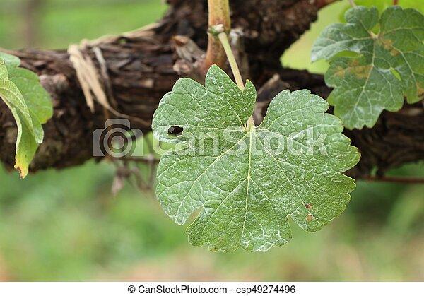 Hojas de uva - csp49274496