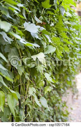 Hojas de uva - csp10517164