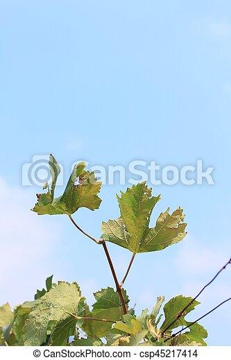 Hojas de uva - csp45217414