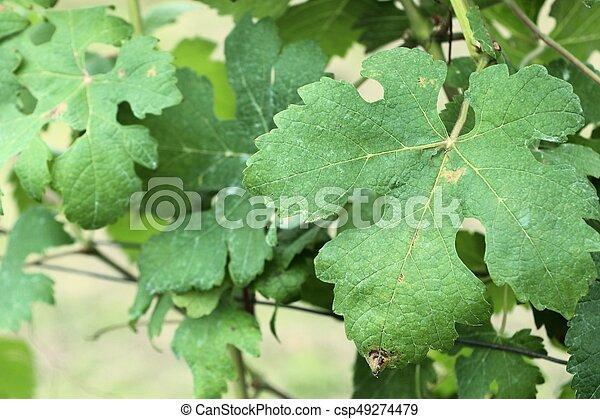 Hojas de uva - csp49274479