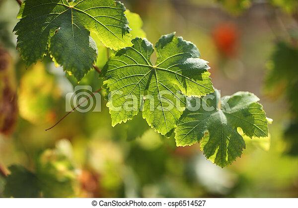 Hojas de uva - csp6514527