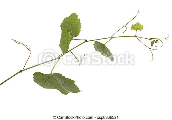 Hojas de uva - csp8366521