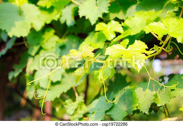 Hojas de uva - csp19722286
