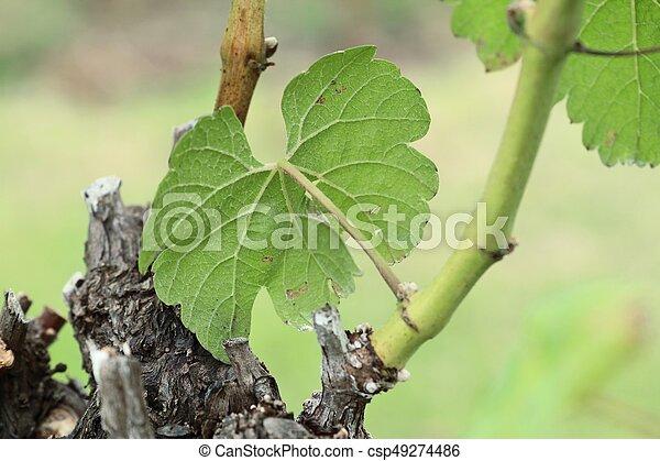 Hojas de uva - csp49274486