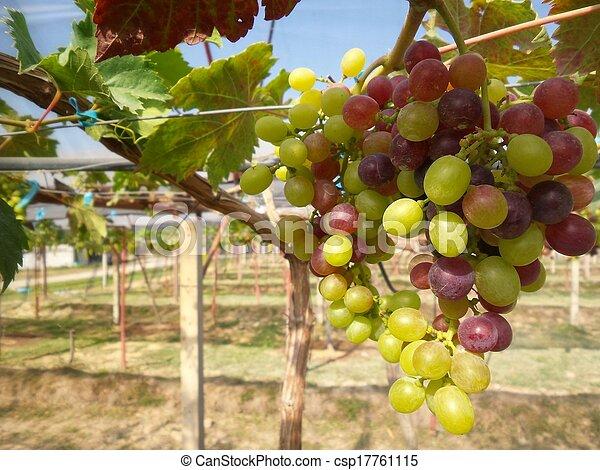 Uvas con hojas verdes - csp17761115