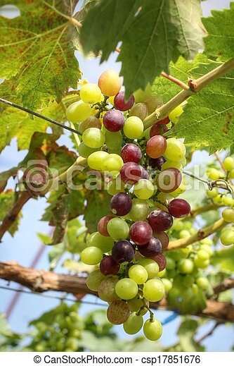 Uvas con hojas verdes - csp17851676